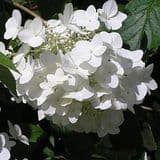 Hydrangea paniculata 'White Moth' - Find Azleas,Camellias,Hydrangea and Rhododendrons at Loder Plants